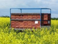 Im Raps bringen viele Imker ihre Bienenvölker in den Raps um den leckeren Honig ernten zu können. - Bild 1: Böhrs Hoff Fehmarn für Ihren Urlaub mit Hund